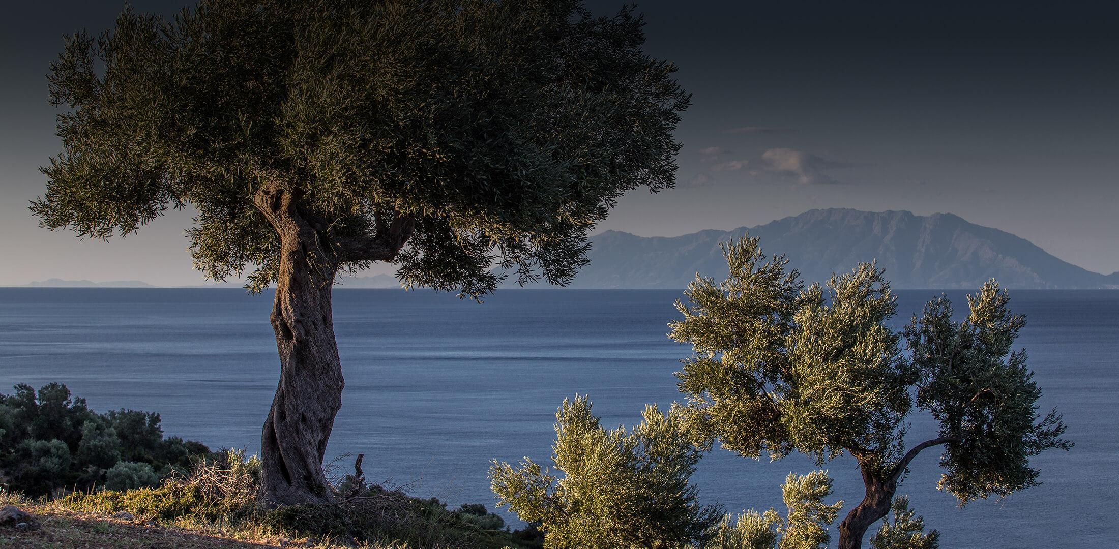 Slider Olivenbaum