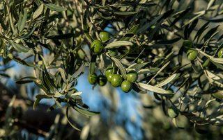 Olivenöl Anbau