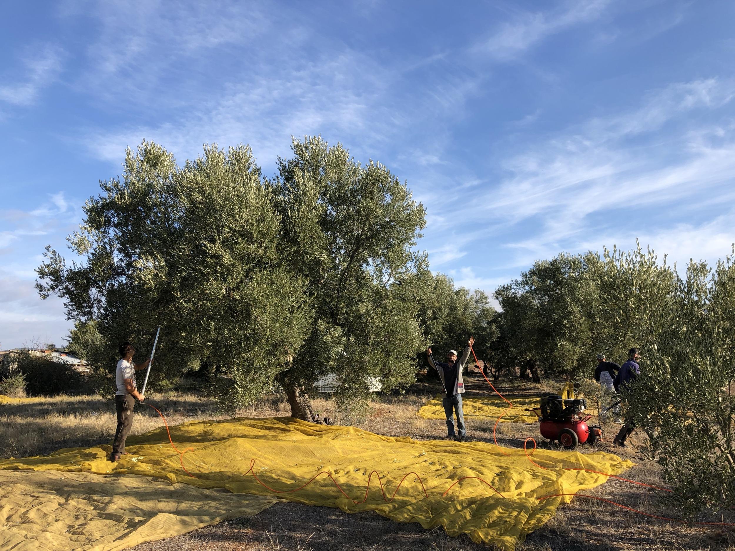 Erntegerät für Oliven