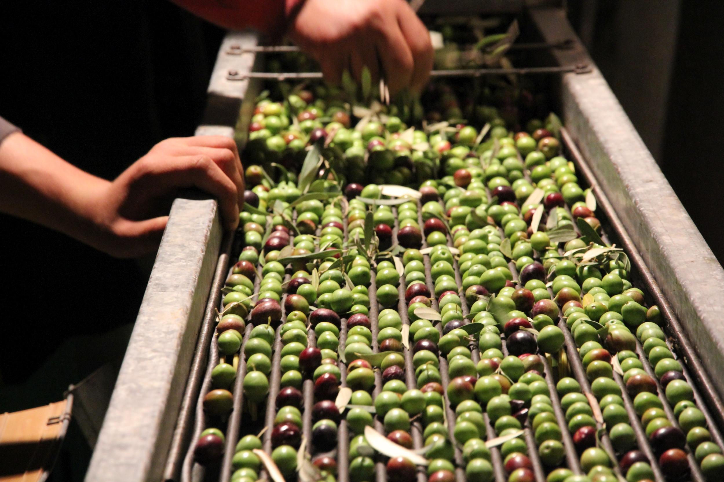 Wir sortieren die Oliven zusätzlich