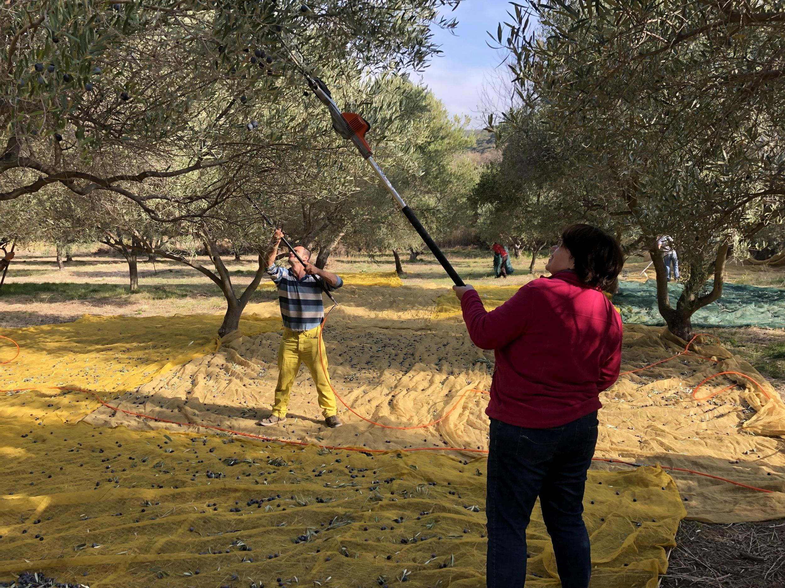 Erntehelfer Olivenölernte