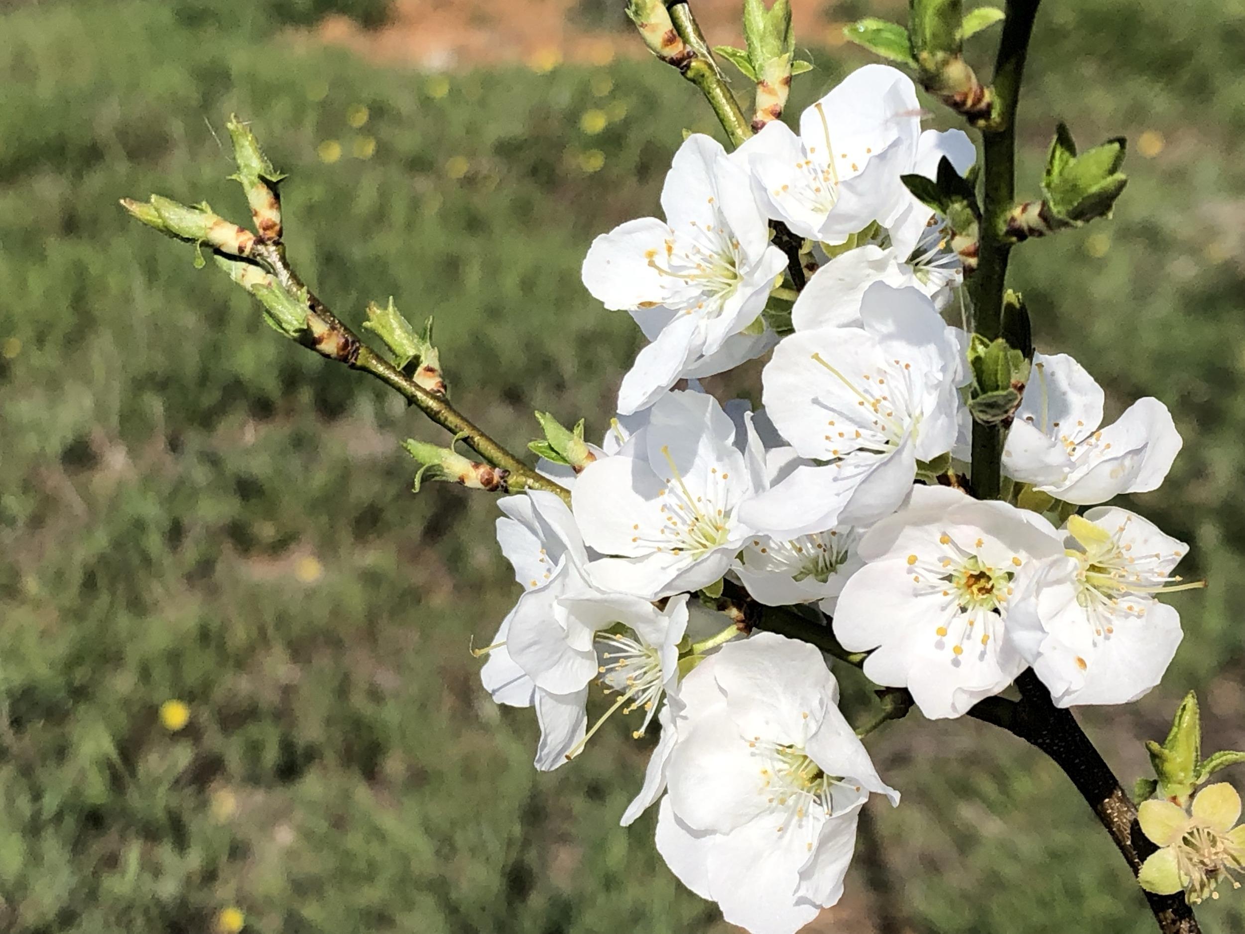 Biricocollo Blüte
