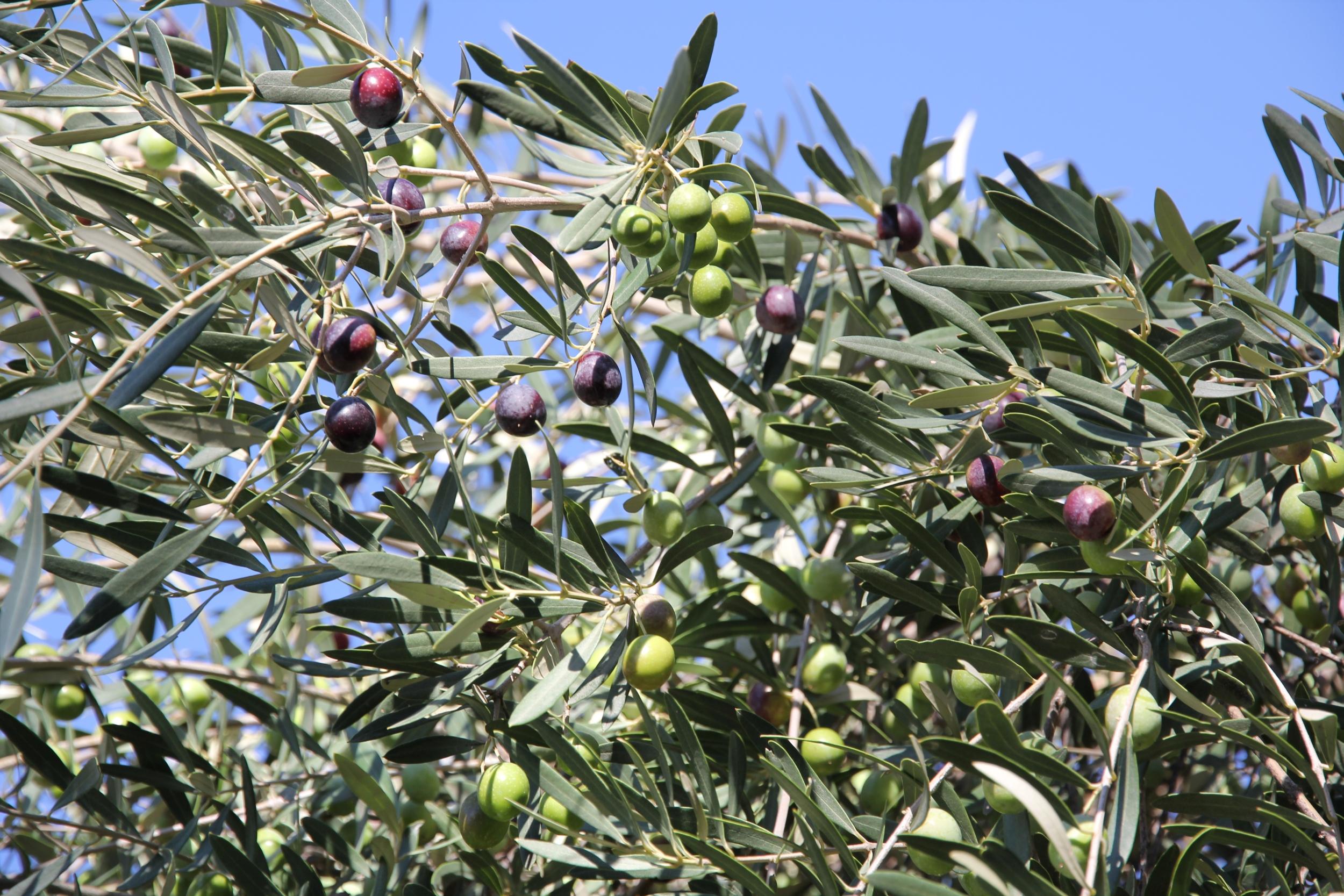 Oliven reif für die Ernte