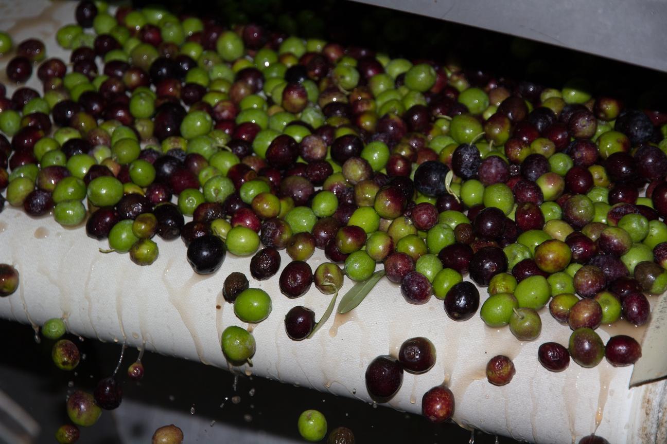 Oliven werden gewaschen