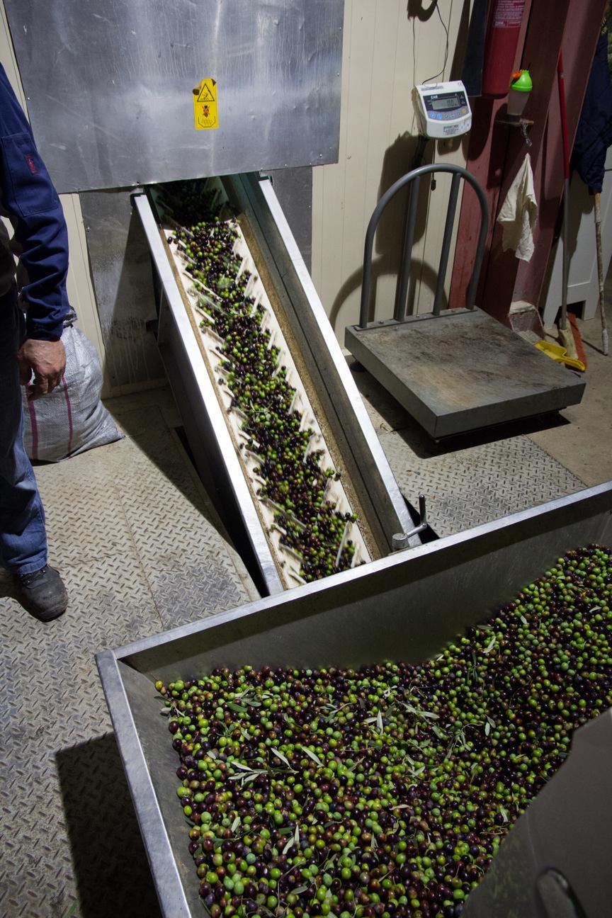 Anlieferung der Oliven
