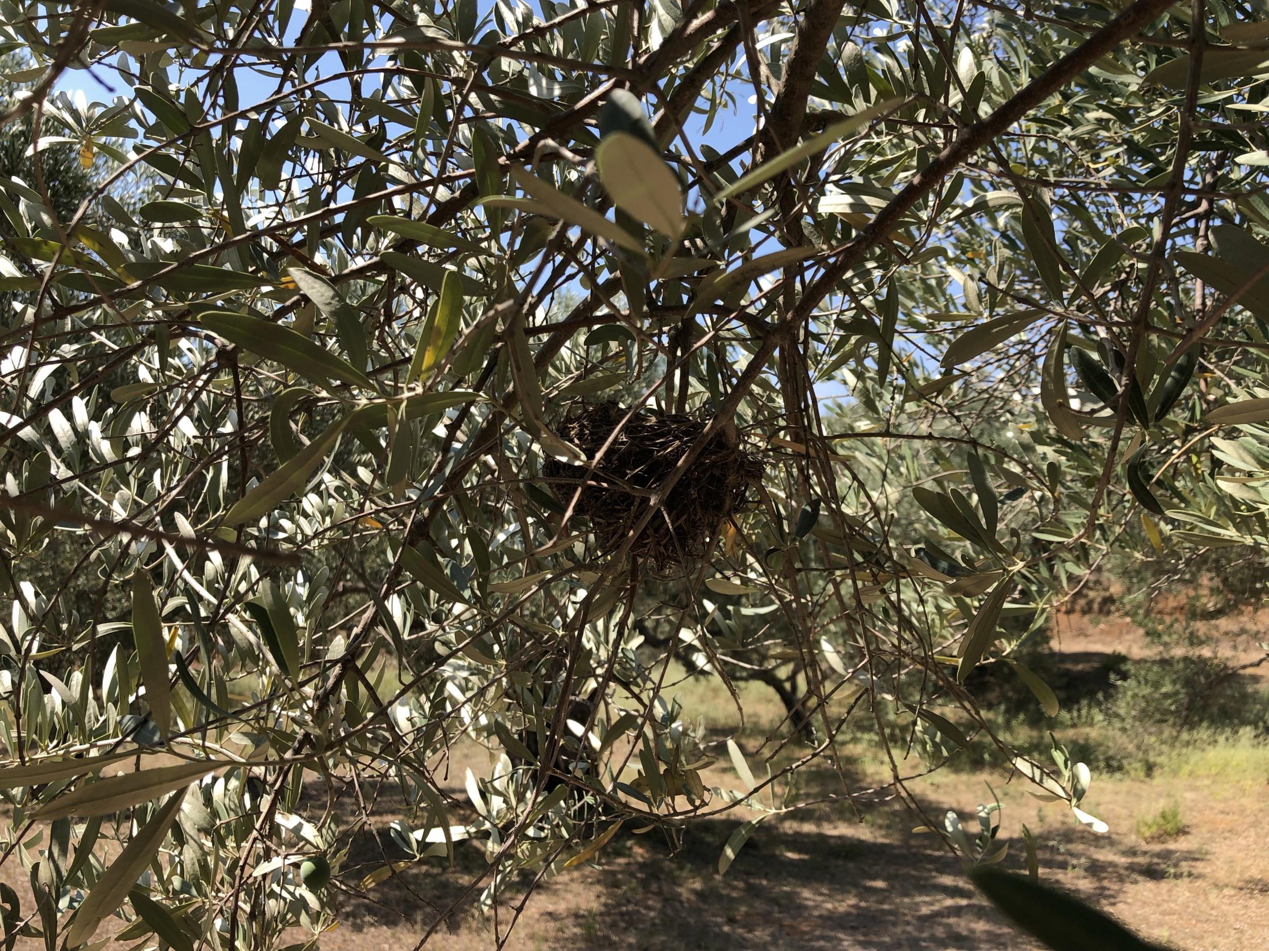 Vogelnest im Olivenbaum
