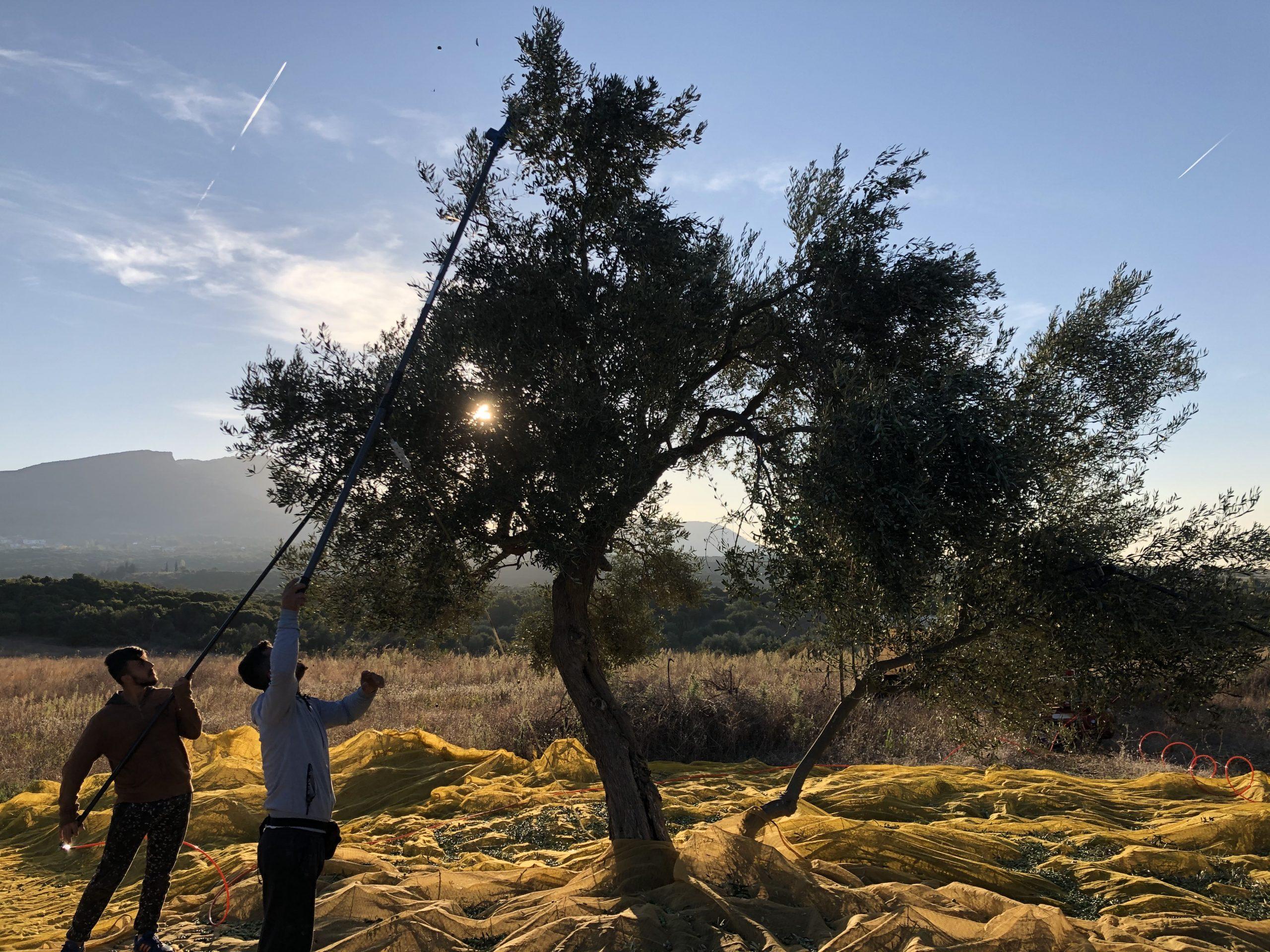 Oliven Ernte 2020